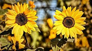 Фотография Подсолнечник Двое Желтый Цветы