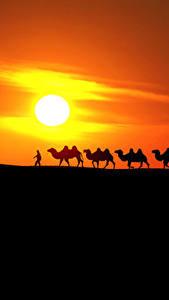 Фотографии Рассветы и закаты Пустыня Верблюды Солнца Силуэт