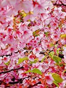 Картинка Цветущие деревья Вблизи Ветвь Сакуры цветок