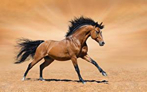 Фотографии Лошадь Песок Бег Коричневая Животные