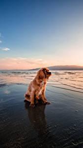 Картинка Рассвет и закат Собака Рыжие Сидит Спаниеля животное