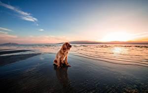 Картинка Рассвет и закат Собака Рыжая Сидящие Спаниеля животное