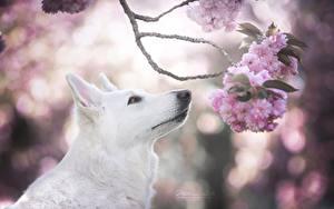 Фотографии Собаки Овчарка Белый Ветки Сакура Berger Blanc Suisse