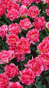Фотография Тюльпан Вблизи Розовый Цветы