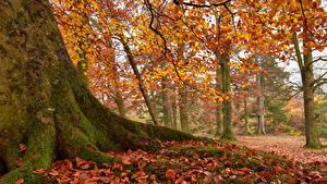 Картинка Англия Парки Осенние Деревья Ствол дерева Лист Мох Newbiggin Природа