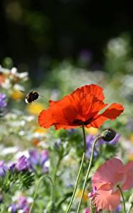 Картинки Маки Шмель Красный Боке Цветы