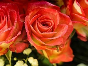 Фото Роза Крупным планом Розовые Лепестков Капли Цветы