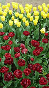 Обои Голландия Парки Тюльпан Много Keukenhof Цветы