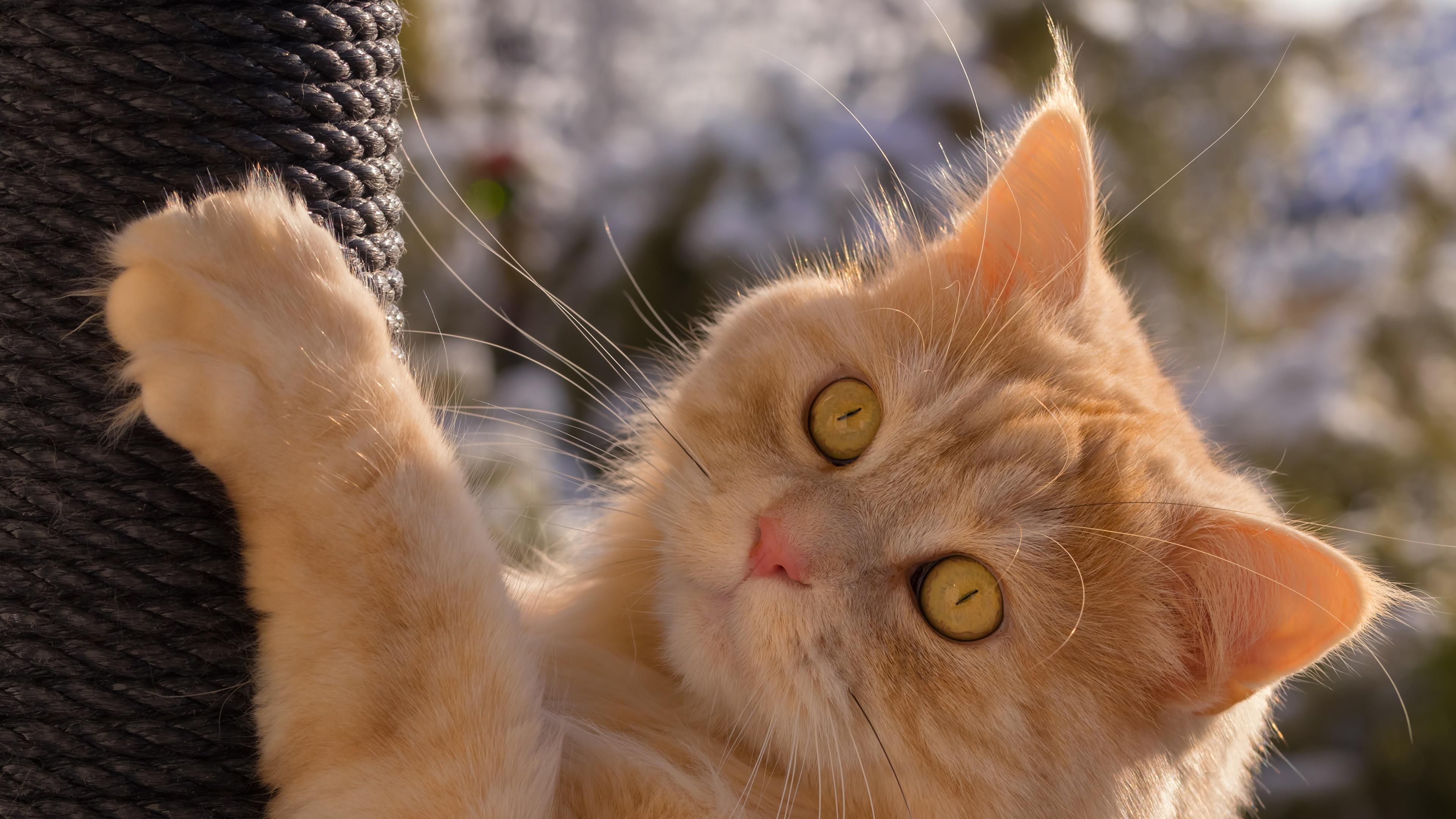 Рыжий кот с прижавшимися ушами без смс