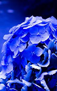 Фотография Гортензия Крупным планом Макро Синий Цветы