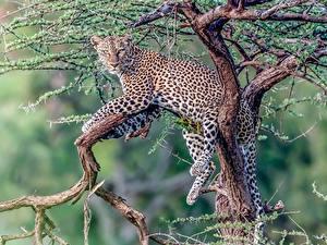 Фотографии Леопарды Лежа Ветки Животные