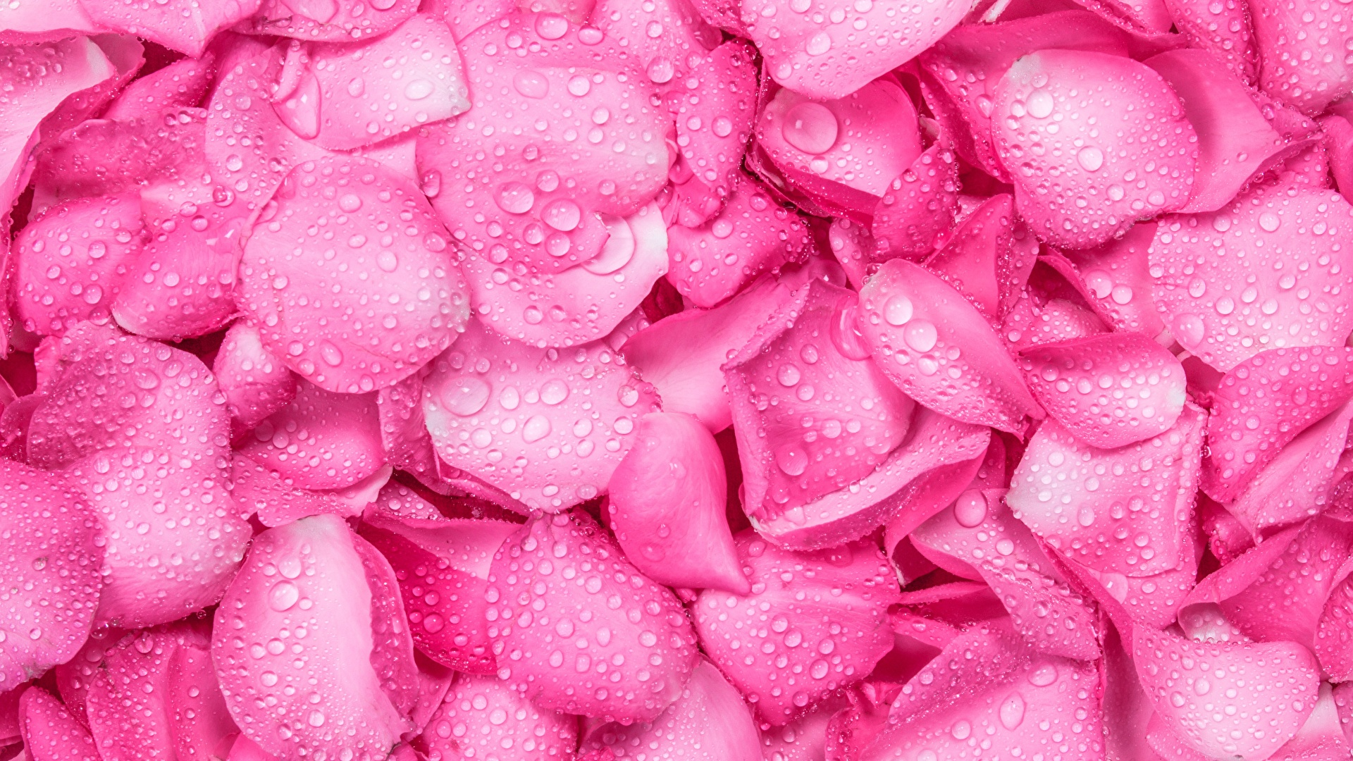 Обои капли, цветы, розовый цветок, цветы. Цветы foto 14