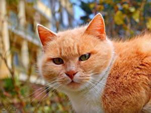 Фото Кошки Рыжие Морда Усы Вибриссы Животные
