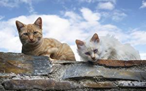 Фотография Кот Двое Смотрит животное
