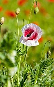 Картинки Мак Вблизи Размытый фон Бутон цветок
