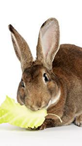 Картинка Кролики Вблизи Белый фон Животные