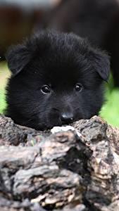 Фотография Собаки Щенок Черный Морда Смотрит Belgian shepherd Животные