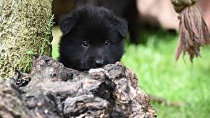 Фотография Собаки Щенок Черный Морда Смотрит Belgian shepherd