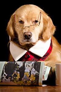 Фотография Собака Черный фон Ретривер Очках Чашке Газетой Животные