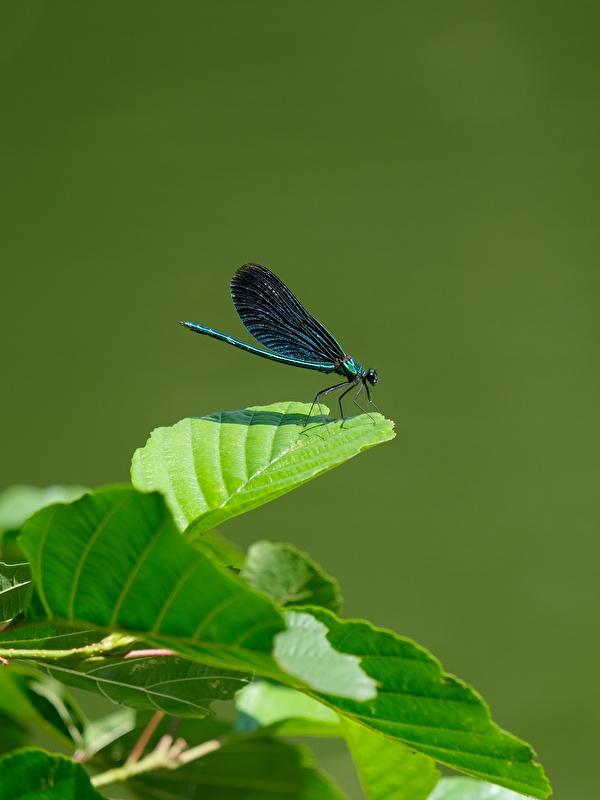 Фото бабочка Листья Calopteryx virgo Животные 600x800 для мобильного телефона Бабочки лист Листва животное