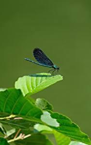 Фото Бабочка Листва Calopteryx virgo животное