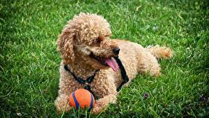 Фотографии Собаки Пудель Мяч Трава