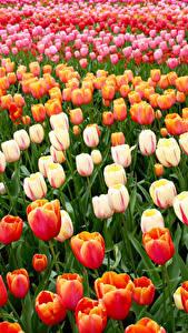 Фотографии Нидерланды Парки Тюльпаны Много Keukenhof Цветы