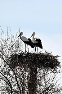 Фото Аисты Птица Гнезда Ветвь 2 животное