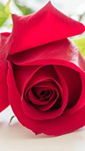 Фотографии Роза Крупным планом Красные цветок