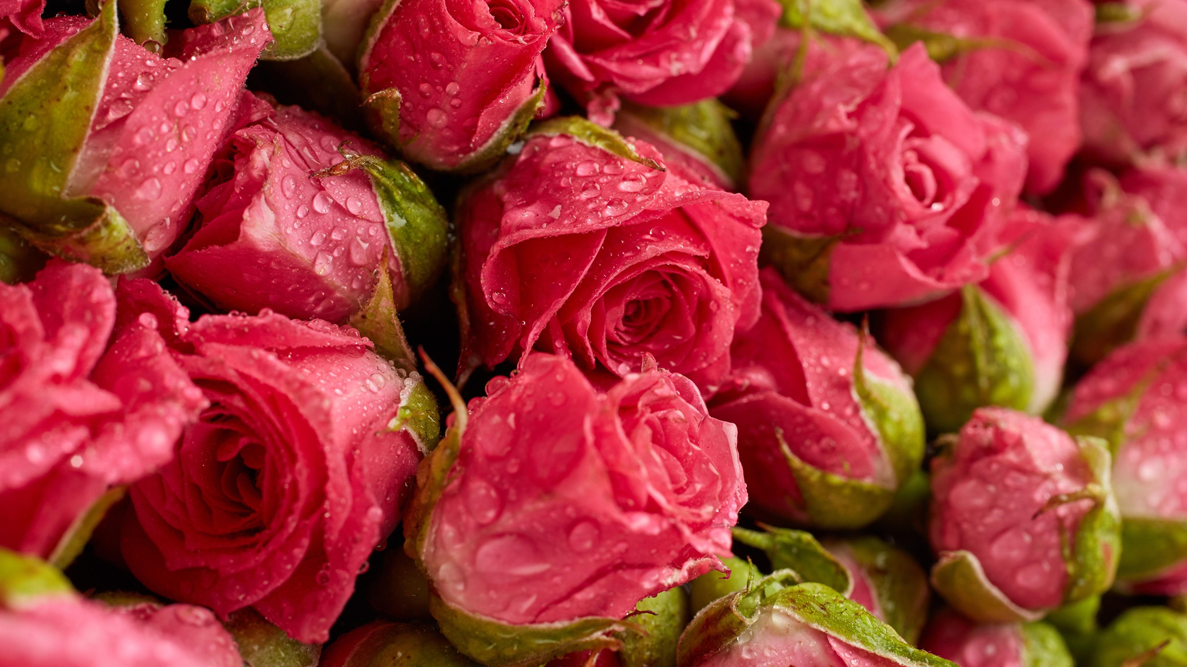 Картинка Розы розовых Цветы капля Крупным планом 3840x2160 роза Розовый розовая розовые Капли капель цветок капельки вблизи