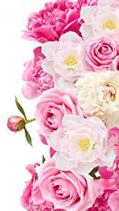 Фотографии Розы Пионы Крупным планом Белый фон Цветы