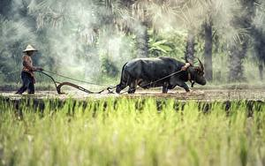 Фото Азиаты Мужчины Быки Трава Туман Шляпа Животные