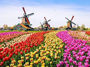 Обои Поля Тюльпан Ветряная мельница Цветы