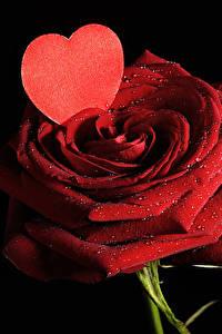 Фотографии Розы День всех влюблённых Красный Сердца На черном фоне Капель цветок