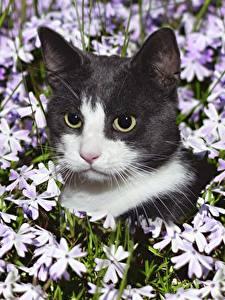 Фотография Кошки Морда Смотрят Головы Животные