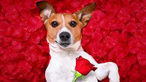 Картинка Собаки Розы Джек-рассел-терьер Лепестки Смотрит Животные