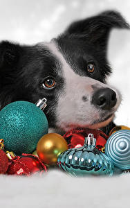 Картинки Новый год Собаки Шарики Бордер-колли Животные