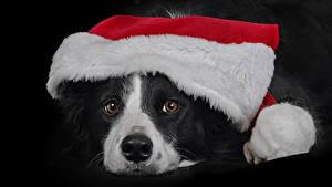 Обои Новый год Собака На черном фоне Морда Шапки Бордер-колли животное
