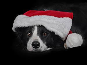 Обои Новый год Собаки Черный фон Морда Шапки Бордер-колли Животные