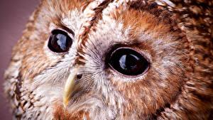 Фотография Крупным планом Макросъёмка Глаза Совообразные Птица Клюв Tawny owl Животные