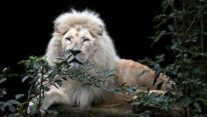 Фото Большие кошки Лев На черном фоне Взгляд Ветвь Белые животное