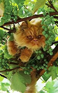 Картинки Кошки Виноград Ветвь Животные