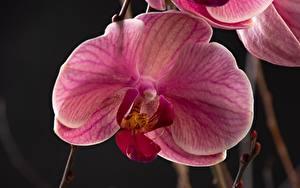 Картинки Орхидеи Крупным планом Розовый Цветы
