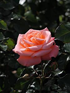 Фотография Розы Вблизи Розовая Бутон Ветвь Цветы