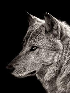 Фотография Волки Черный фон Морда Животные