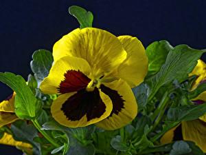 Картинка Фиалка трёхцветная Крупным планом На черном фоне Цветы