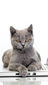 Фотографии Кошки Белом фоне Ноутбуки Серая Смотрят животное