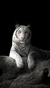 Фотографии Большие кошки Тигр Черный фон Белые животное