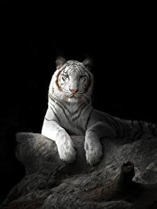 Фотографии Большие кошки Тигры Черный фон Белый Животные