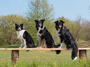 Картинки Собака Бордер-колли Скамейка Втроем Взгляд животное
